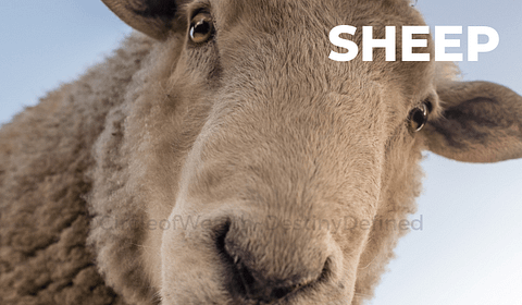 The Sheep or Goat Chinese Zodiac